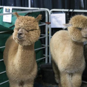 Our Photo of the Day takes us to the PA Farm Show and introduces us to some alpacas in dire need of a haircut...and that haircut will result in lots of top-quality fur that will be transformed into warm clothes Made In PA.